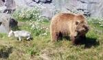 Polarfuchs und Bär im Zoom, Bild von Marc Schuelper, Wikipedia, Lizenz: CC-BY-SA-3.0