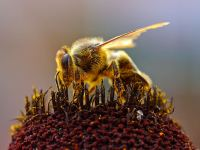 Bienen beim Sammeln von Pollen, Bild von Jon Sullivan, Wikipedia, Public Domain